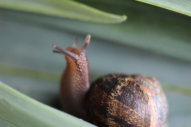escargot-nuisible