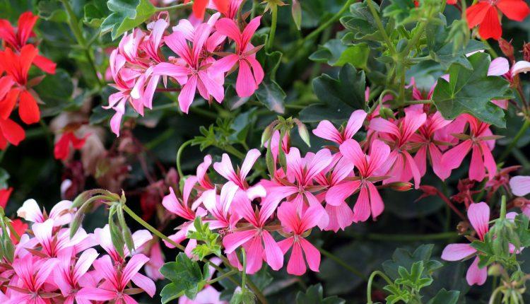 geranium-production