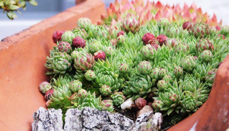 plantes-toiture-sedum