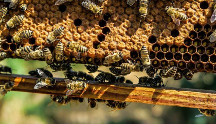 abeilles-rucher