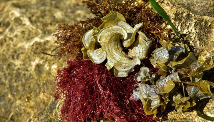 algue-rouge-agar