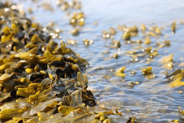 algues-nutrition