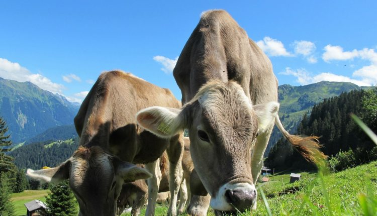 beurre-vaches-herbes