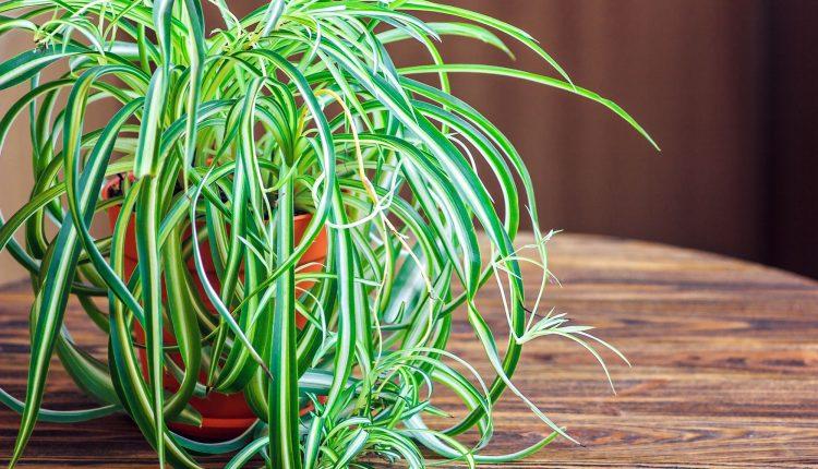 plante-araignee-depolluante