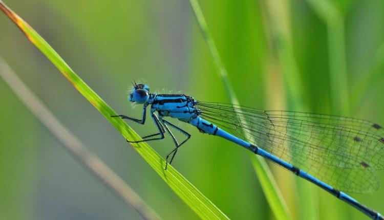 libellule-piscine-naturelle