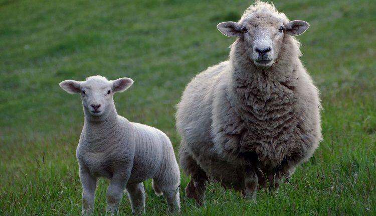 viande-mouton-bio
