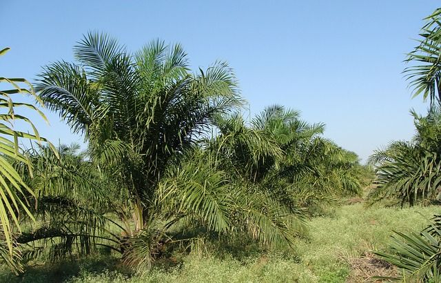 impacts-huile-palme