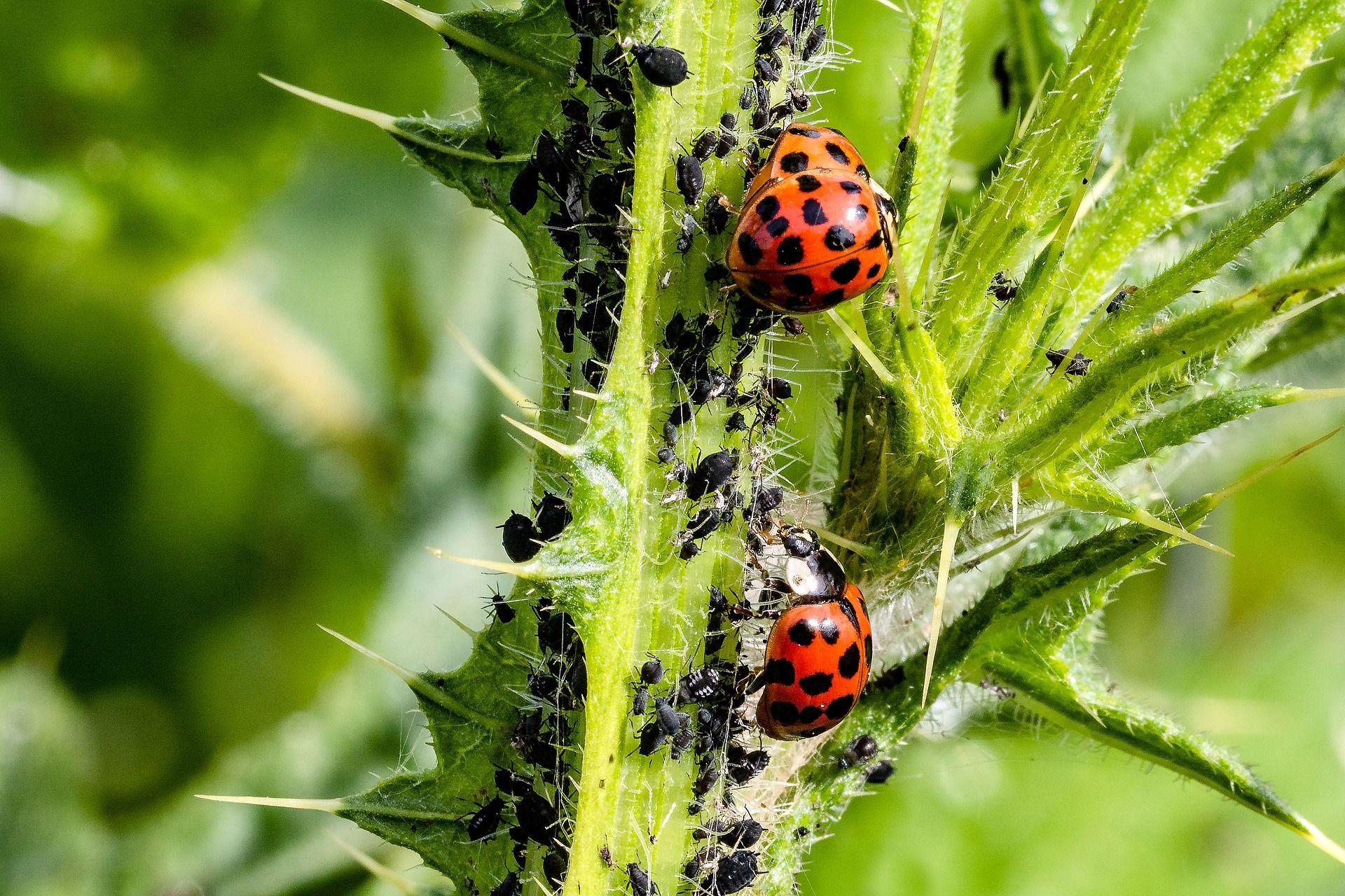 Eloigner Les Fourmis Au Jardin la coccinelle, un auxiliaire de jardin contre les pucerons