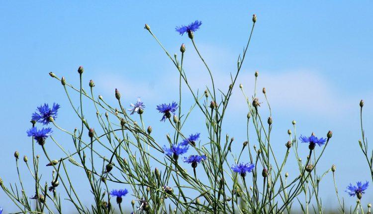 bleuet-cernes-cosmetiques