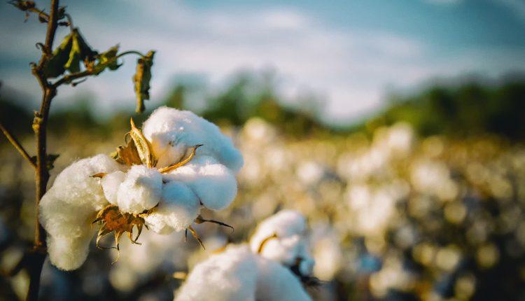 coton-biologique