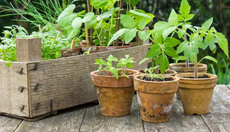 plantes-potagères-balcon