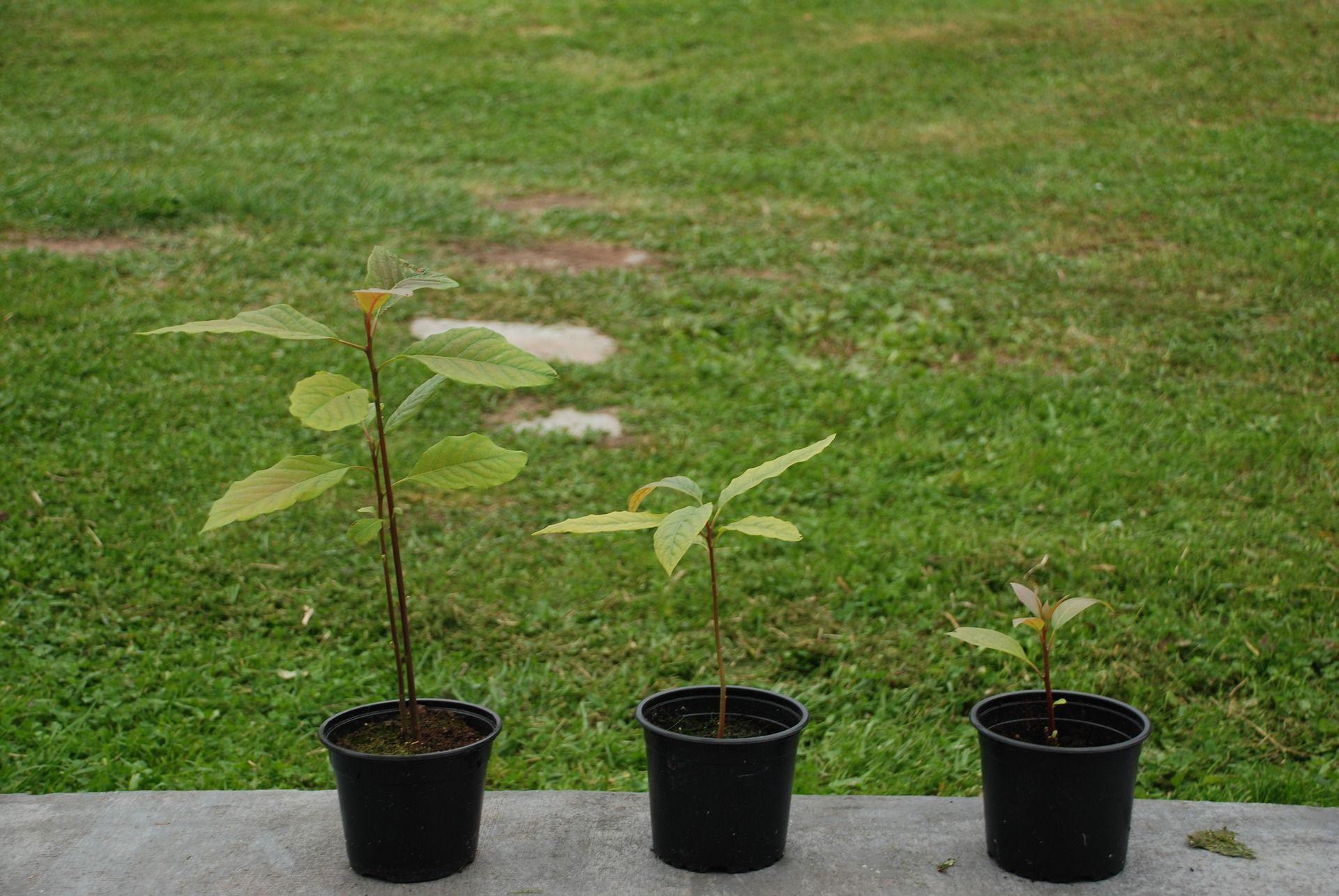Faire Germer Noyau D Avocat comment obtenir une plante à partir d'un fruit exotique ?