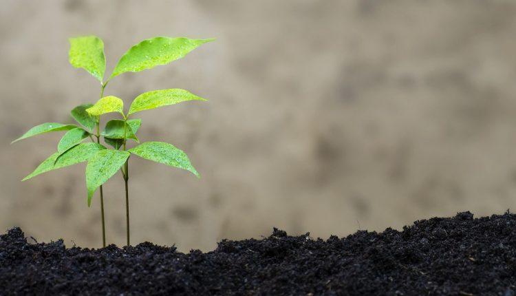 litchi-plante