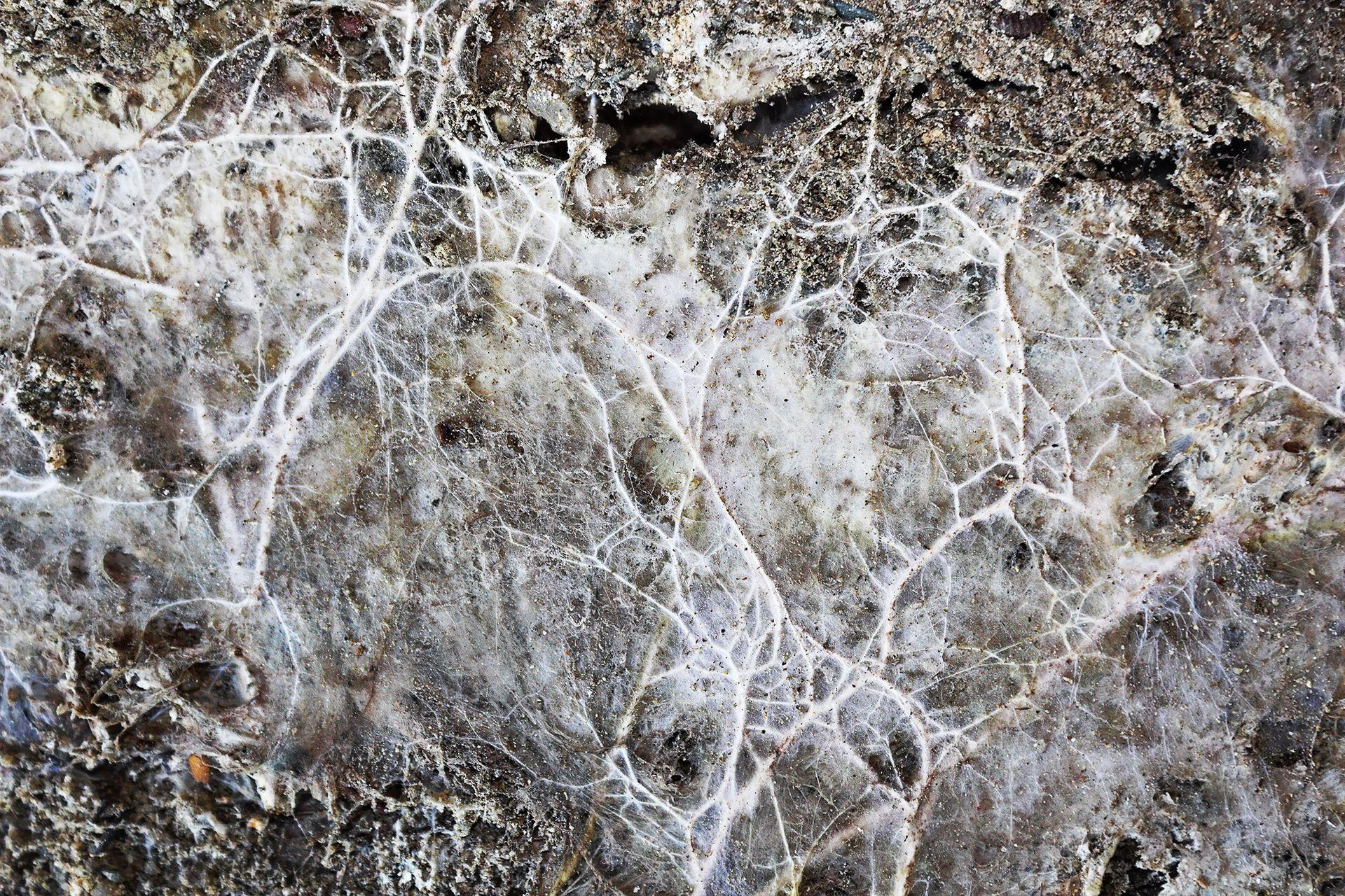mycelium-culture-champignon
