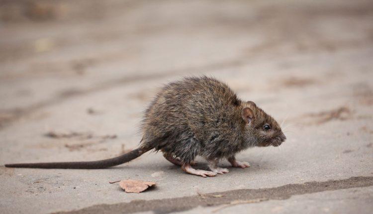 rat-jardin-eloigner