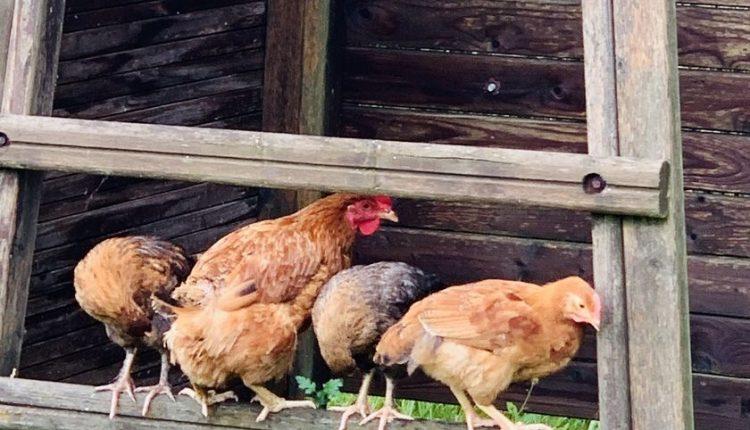 poule-gregaire-comportement