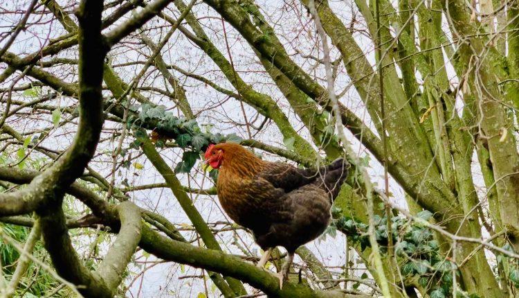 poule-marans