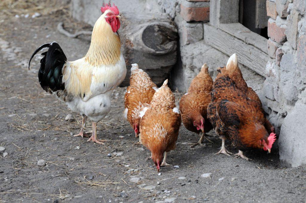 poules-maladies-prevention