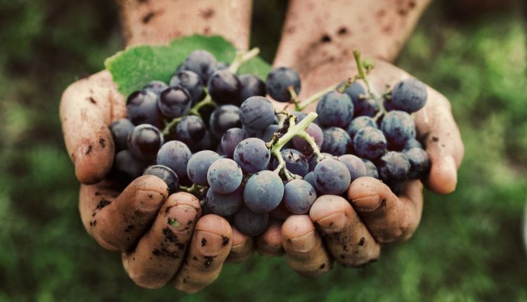biodynamie-viticulture
