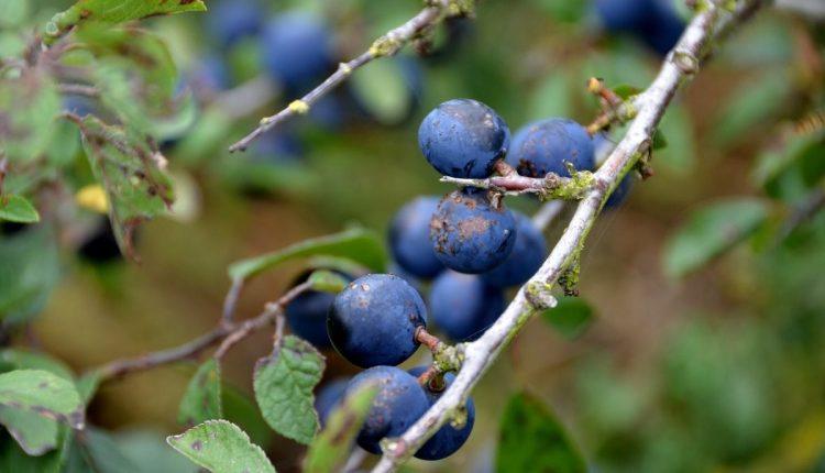 haie-champetre-prunelier