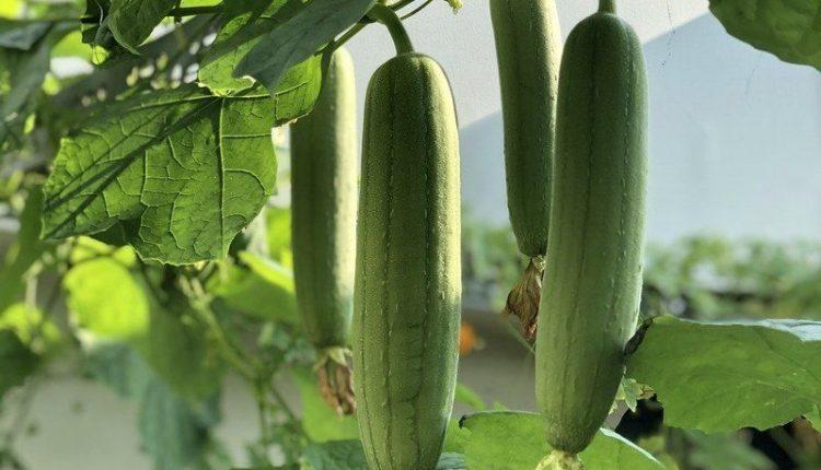 loufah-plantation
