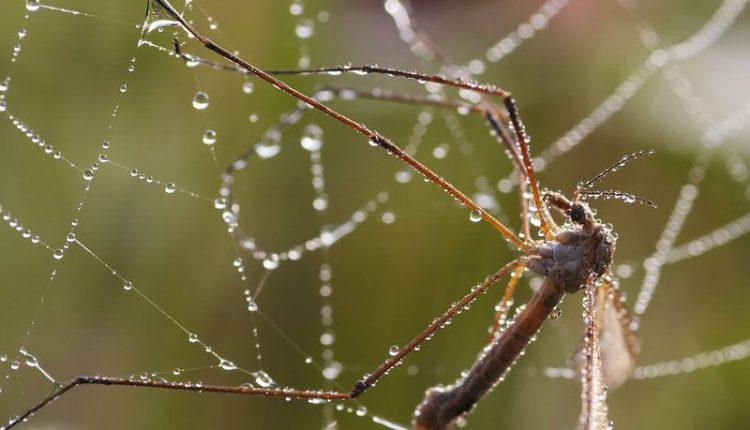 moustique-predateur
