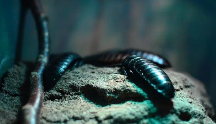 cafard-terre-diatomee