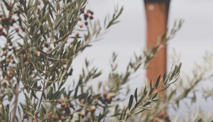 olive-savon-castille