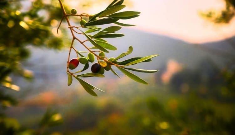 savon-castille-olive