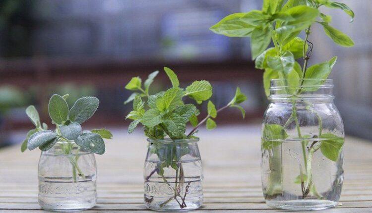 plante-anti-mouche